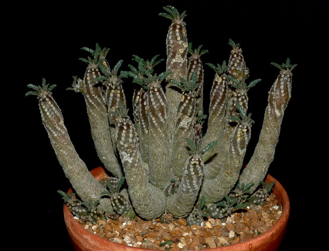 Dorstenia LAVRANI или Дорстения Лаврани
