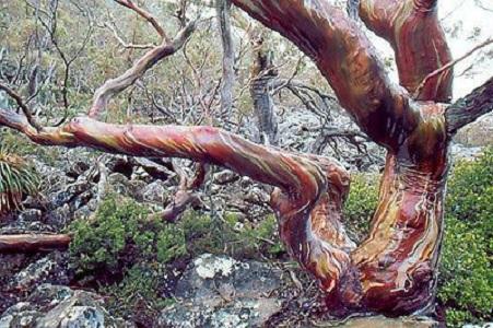 Eucalyptus COCCIFERA или Эвкалипт Ягодный