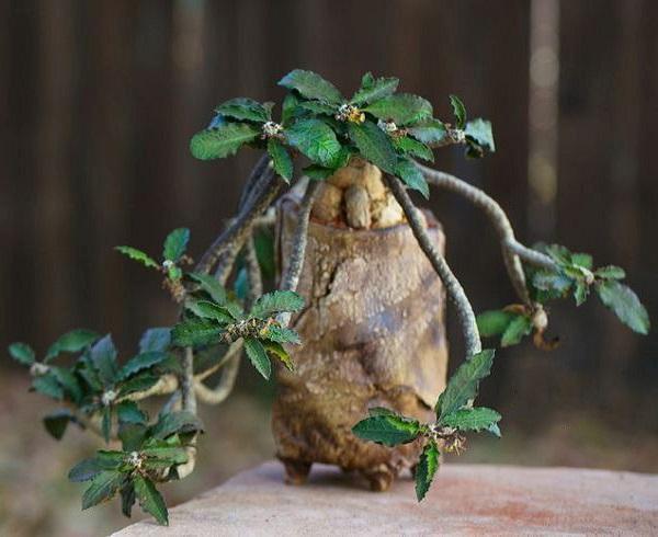 Euphorbia AMBOVOMBENSIS или Молочай Амбовомбенсис