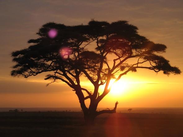 Акация Сенегальская