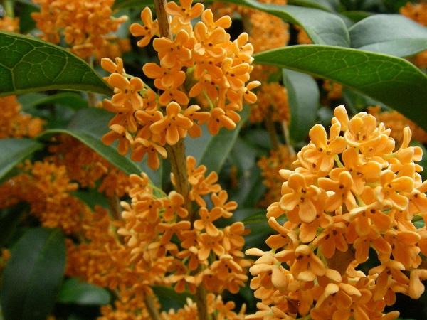 Сухие цветы османтуса купить доставка цветов и подарков в ростов