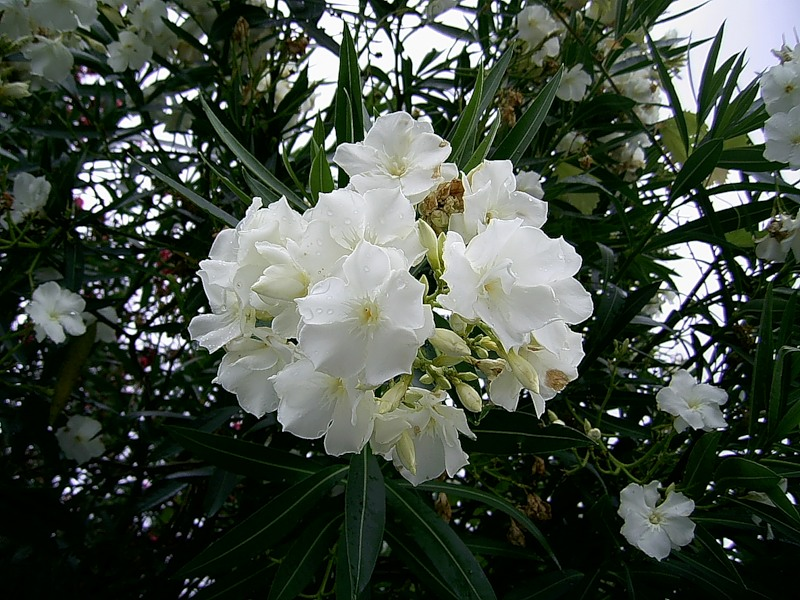 олеандр белый