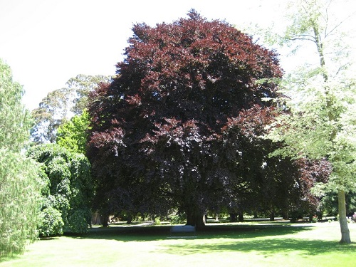 Fagus Sylvatica Purpurea или Бук Меднолистный
