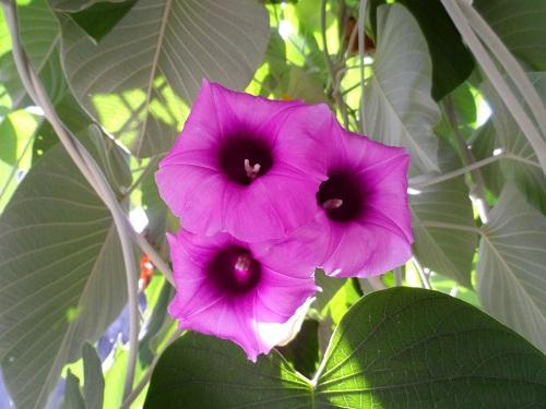 Где купить семена гавайской розы в москве доставка цветов по амурской области