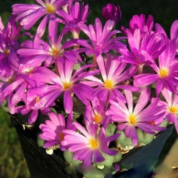 Mesembryanthemum MINUTUM или Мезембриантемум Миниатюрный