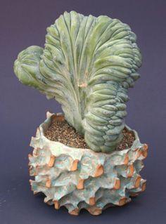 Myrtillocactus GEOMETRIZANS f. Cristatus Variegatus или Миртилокактус Кристатный