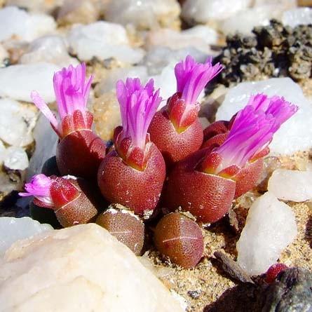 Oophytum OVIFORMEI или Оофитум Яйцевидный