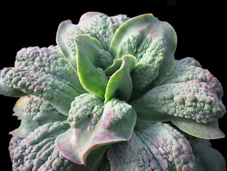 Echeveria GIBBIFLORA var. CARUNCULATA или Эхеверия Горбатоцветковая