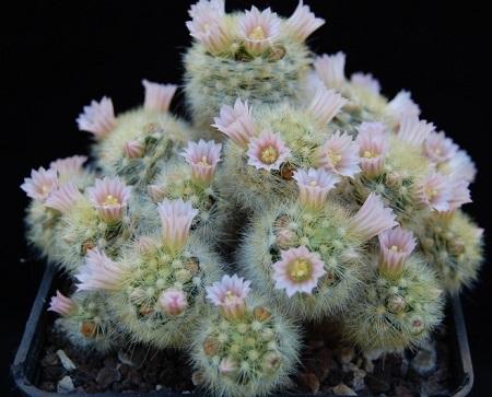 Mammillaria CARMENAE или Маммиллярия Кармен