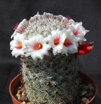 Mammillaria SLEVINII или Маммиллярия Слевня