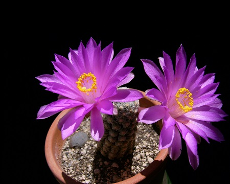 Mammillaria THERESAE или Маммиллярия Терезы