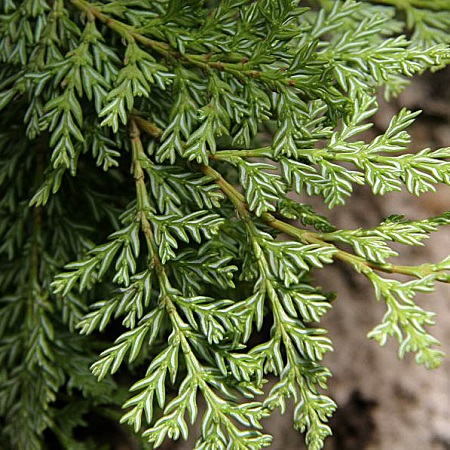Austrocedrus CHILENSIS или Кордильерский Кедр