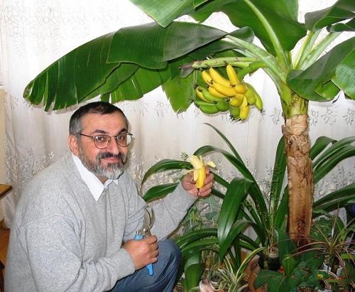 """Musa ACUMINATA """"Dwarf Banana"""