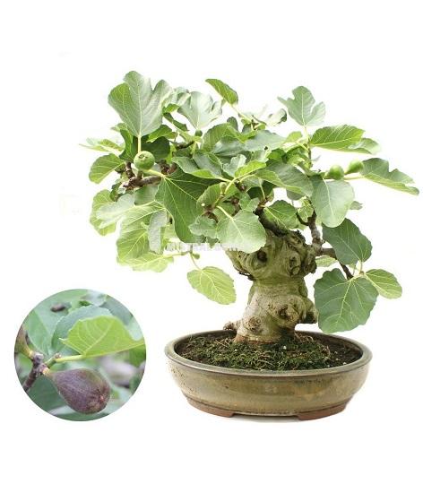 Ficus CARICA или Инжир