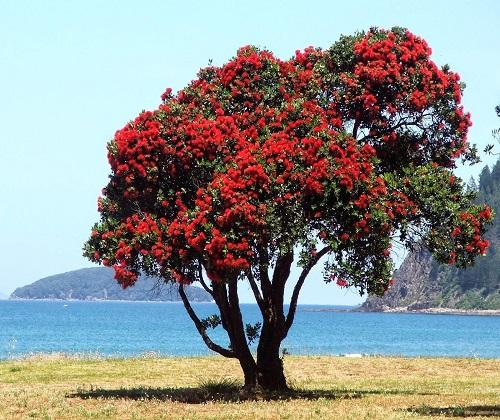 Viburnum OPULUS или Калина Красная