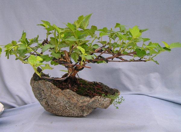 Philadelphus CORONARIUS или Садовый Жасмин