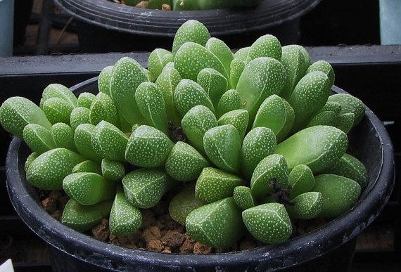 Rhinephyllum MUIRII или Ринефиллум Муира