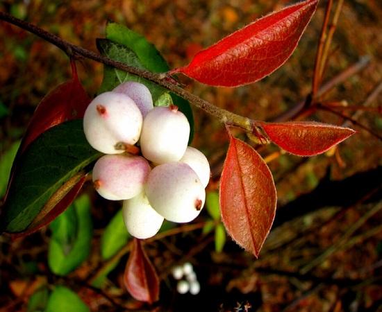 Symphoricarpos ALBUS или Снежнеягодник Белый