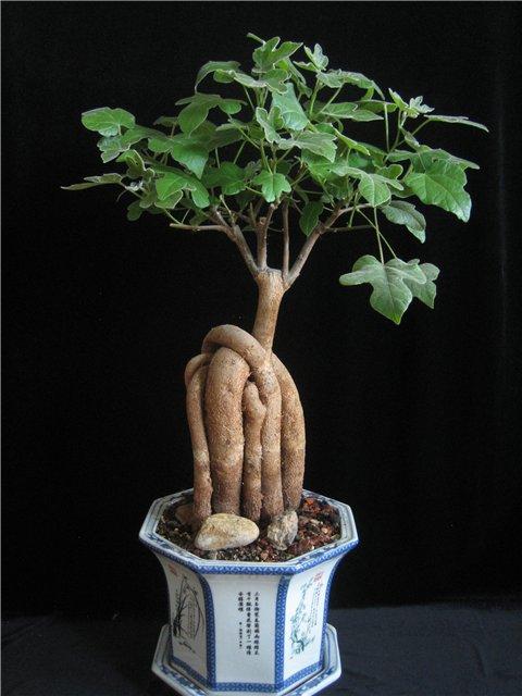 Дерево бонсай в домашних условиях из семян 27