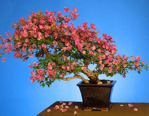 Bougainvillea MIXED FLOWERS или Бугенвиллея
