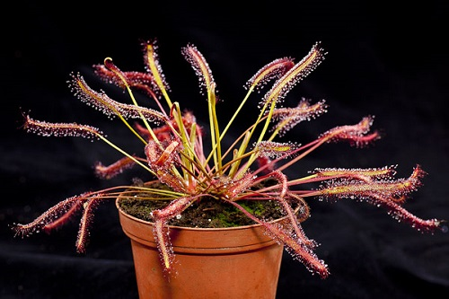 Drosera Сapensis Pink или Росянка Капская Красная