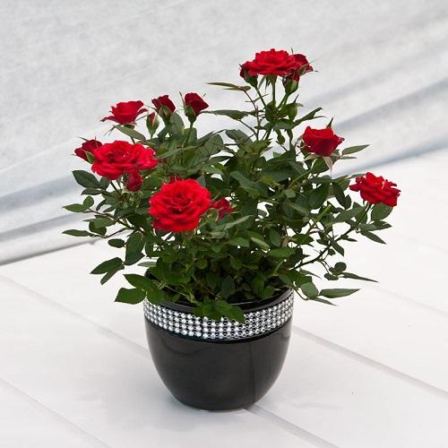 Цветы домашние розы