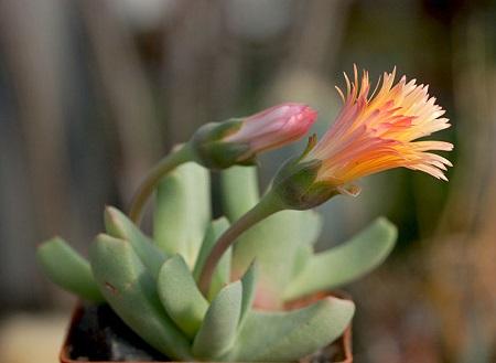 Cheiridopsis CANDIDISSIMA или Хейридопсис Красивейший