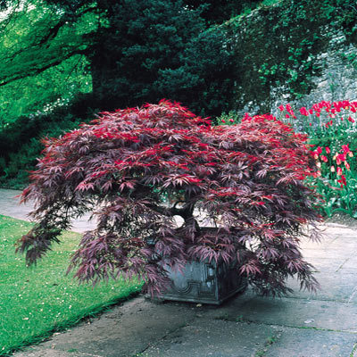 Acer Palmatum DISSECTUM