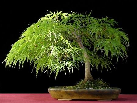Acer Palmatum DISSECTUM или Клен Пальчатый Веерный